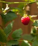 分行莓 免版税库存照片