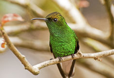 分行蜂鸟被栖息的结构树 免版税图库摄影