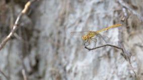 分行蜻蜓libellula ramo su 影视素材