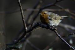 分行被栖息的知更鸟 免版税图库摄影