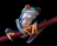 分行被注视的青蛙红色结构树 免版税库存图片