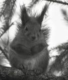 分行逗人喜爱的坐的灰鼠 库存照片