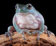 分行青蛙结构树白色 免版税图库摄影