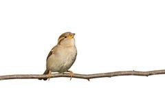 分行飞行被栖息的准备的麻雀 图库摄影