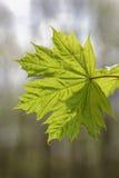 分行绿色留下槭树 免版税图库摄影