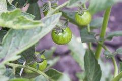 分行绿色蕃茄 图库摄影