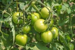 分行绿色蕃茄 免版税库存图片