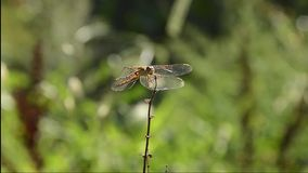 分行蜻蜓libellula ramo su 股票视频