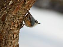分行breasted五子雀被栖息的红色 免版税库存照片
