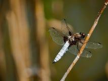 分行depressa小蜻蜓的libellula 图库摄影