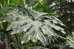 分裂一棵大的异乎寻常的爱树木的人Bipinnatifidum植物的叶子 免版税库存照片