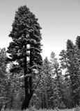分裂pondo在森林里 库存图片