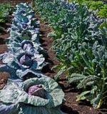 分配生长蔬菜 图库摄影