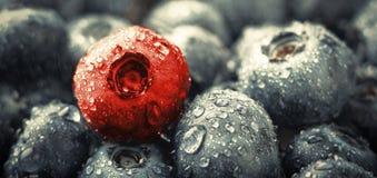 分集 新鲜的湿蓝莓和一个红色莓果在背景中 免版税图库摄影