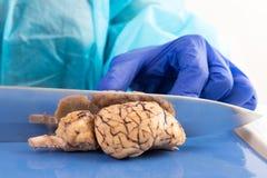 切与一把刀片的母牛脑子在解剖学课 免版税库存图片