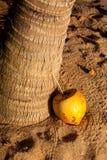 切与秸杆的椰子,在棕榈树下 库存图片