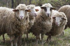 切削的绵羊 库存图片