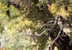 切削的麻雀在山桃花心木灌木的平头麻雀passerina 图库摄影