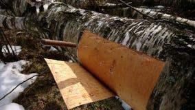 切口从桦树的白桦树皮 图库摄影