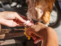 切口试验品` s钉子 国内试验品、亦称家养的豚鼠或者完全豚鼠,是啮齿目动物的种类 免版税图库摄影