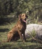 切塞皮克湾猎犬 免版税库存照片
