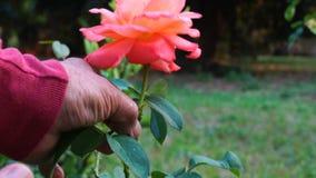 切开一朵玫瑰色花的花匠 股票视频