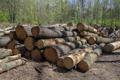 切开树,树皮甲虫灾难,针叶树树在森林地注册堆 库存照片