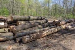 切开树,树皮甲虫灾难,针叶树树在森林地注册堆 免版税图库摄影