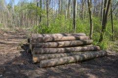 切开树,树皮甲虫灾难,针叶树树在森林地注册堆 免版税库存图片
