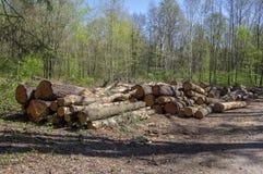 切开树,树皮甲虫灾难,针叶树树在森林地注册堆 库存图片