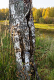 切开桦树的树干 免版税库存照片