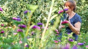 切开紫色或紫罗兰色michaelmas雏菊或翠菊花的卖花人 影视素材