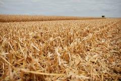 切开茎或留残梗在一个被收获的玉米领域 免版税库存图片