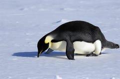 划分为的企鹅 库存照片
