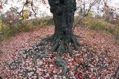 划分为的叶子槭树红色 库存图片