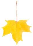 划分为的叶子槭树铁锈黄色 库存照片