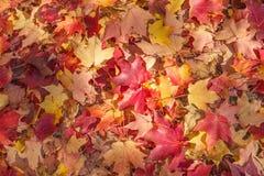 划分为的叶子槭树 库存照片