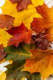 划分为的叶子槭树 免版税库存照片