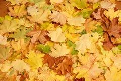 划分为的叶子槭树 库存图片