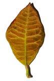 划分为的叶子黄色 免版税库存图片
