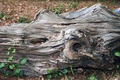 划分为的老结构树 免版税图库摄影
