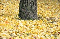 划分为的银杏树叶子在秋天 免版税库存图片