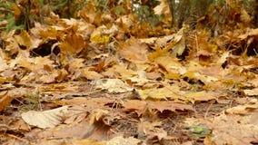 划分为的陆运叶子 秋天白天 光滑的移动式摄影车被射击到左边 股票视频