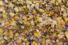 划分为的黄色叶子 免版税库存照片