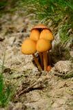 系列研了许多蘑菇那里 库存照片