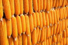 列阵排序臼齿形玉米(玉蜀黍属5月indentata) 免版税库存照片