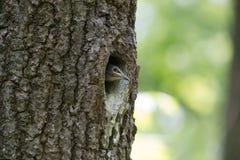 刚孵出的雏欧亚五子雀或木头五子雀在凹陷 森林燕雀类鸟五子雀类europaea 免版税库存图片