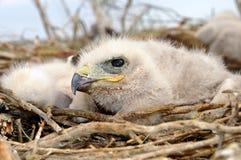 刚孵出的雏长腿的肉食 免版税库存照片