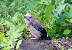 刚孵出的雏离开从巢的杰伊 免版税库存图片