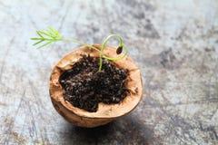 创造性的爱心脏素食食物概念 生长在核桃壳的绿色茴香新芽 老和破旧金属 库存图片